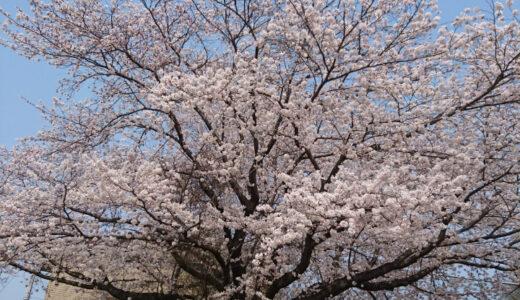 水戸市民球場の桜を見てきた